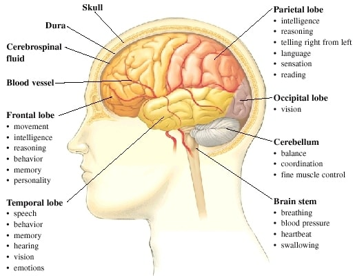 The brain and its parts and functions