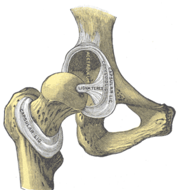 labrum of hip
