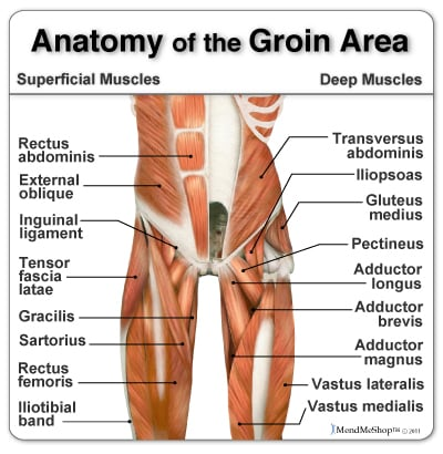 anatomy-of-the-groin-muscles